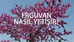 Erguvan Nasıl Yetişir Erguvan Türkiyede En Çok Ve En İyi Nerede Yetişir Ve Nasıl Yetiştirilir
