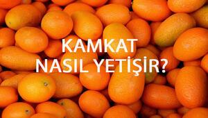 Kamkat Nasıl Yetişir Kamkat Türkiyede En Çok Ve En İyi Nerede Yetişir Ve Nasıl Yetiştirilir