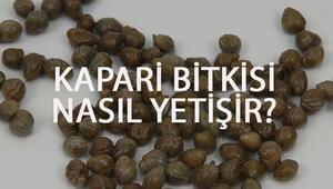 Kapari Bitkisi Nasıl Yetişir Kapari Bitkisi Türkiyede En Çok Ve En İyi Nerede Yetişir Ve Nasıl Yetiştirilir