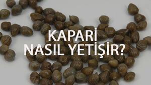 Kapari Nasıl Yetişir Kapari Türkiyede En Çok Ve En İyi Nerede Yetişir Ve Nasıl Yetiştirilir
