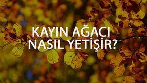 Kayın Ağacı Nasıl Yetişir Kayın Ağacı Türkiyede En Çok Ve En İyi Nerede Yetişir Ve Nasıl Yetiştirilir