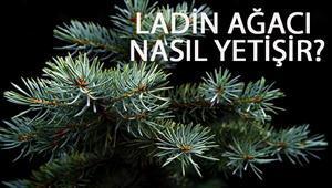 Ladin Ağacı Nasıl Yetişir Ladin Ağacı Türkiyede En Çok Ve En İyi Nerede Yetişir Ve Nasıl Yetiştirilir