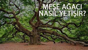 Meşe Ağacı Nasıl Yetişir Meşe Ağacı Türkiyede En Çok Ve En İyi Nerede Yetişir Ve Nasıl Yetiştirilir