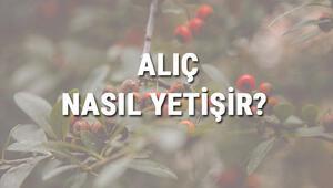 Alıç Nasıl Yetişir Alıç Türkiyede En Çok Ve En İyi Nerede Yetişir Ve Nasıl Yetiştirilir