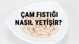 Çam Fıstığı Nasıl Yetişir Çam Fıstığı Türkiyede En Çok Ve En İyi Nerede Yetişir Ve Nasıl Yetiştirilir