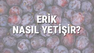 Erik Nasıl Yetişir Erik Türkiyede En Çok Ve En İyi Nerede Yetişir Ve Nasıl Yetiştirilir