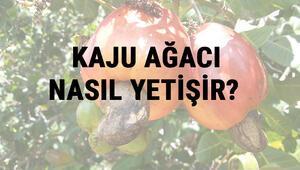 Kaju Ağacı Nasıl Yetişir Kaju Ağacı Türkiyede En Çok Ve En İyi Nerede Yetişir Ve Nasıl Yetiştirilir
