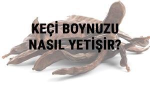Keçi Boynuzu Nasıl Yetişir Keçi Boynuzu Türkiyede En Çok Ve En İyi Nerede Yetişir Ve Nasıl Yetiştirilir