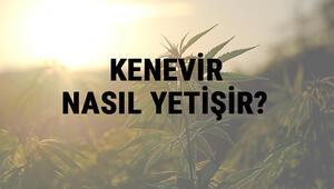 Kenevir Nasıl Yetişir Kenevir Türkiyede En Çok Ve En İyi Nerede Yetişir Ve Nasıl Yetiştirilir