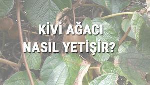 Kivi Ağacı Nasıl Yetişir Kivi Ağacı Türkiyede En Çok Ve En İyi Nerede Yetişir Ve Nasıl Yetiştirilir