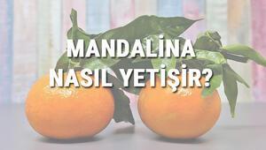 Mandalina Nasıl Yetişir Mandalina Türkiyede En Çok Ve En İyi Nerede Yetişir Ve Nasıl Yetiştirilir
