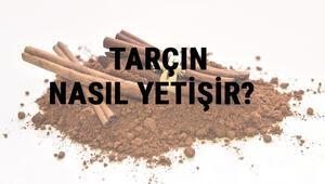 Tarçın Nasıl Yetişir Tarçın Türkiyede En Çok Ve En İyi Nerede Yetişir Ve Nasıl Yetiştirilir