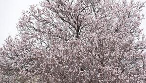 Mardinde, şubatta badem ağaçları çiçeklendi