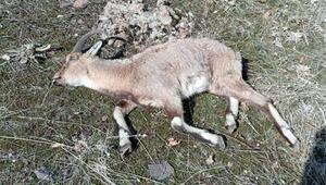 Tuncelide yaban keçilerinin ölümü araştırılıyor Muhtar: İlk defa karşılaştık