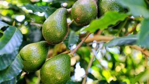 Avokado Nasıl Yetişir Avokado Türkiyede En Çok Ve En İyi Nerede Yetişir Ve Nasıl Yetiştirilir