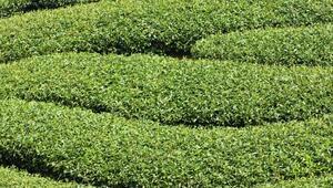 Çay Nasıl Yetişir Çay Türkiyede En Çok Ve En İyi Nerede Yetişir Ve Nasıl Yetiştirilir
