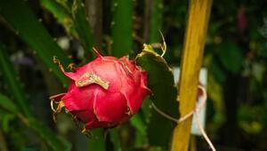 Ejder Meyvesi Nasıl Yetişir Ejder Meyvesi Türkiyede En Çok Ve En İyi Nerede Yetişir Ve Nasıl Yetiştirilir