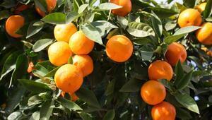 Portakal Nasıl Yetişir Portakal Türkiyede En Çok Ve En İyi Nerede Yetişir Ve Nasıl Yetiştirilir