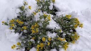 Derecikteki bahar havası yerine kara bıraktı, açan çiçekler kar altında kaldı