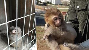 Ülkeye kaçak sokulmak istenen 4 örümcek maymunu, korumaya alındı