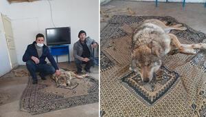 Yaralı bulduğu kurdu değirmende besledi