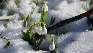 Toroslarda kardelenler erken çiçek açtı
