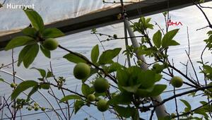 Sezonun ilk erik hasadı yapıldı; kilosu 500 TLden satıldı