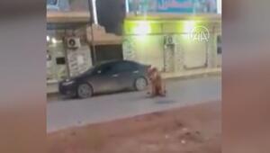 Libyada cadde ortasında başıboş gezen bir aslan görenleri şaşkına çevirdi