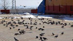Yem bulmakta zorlanan kuşlara, her yıl 60 ton buğday veriyorlar