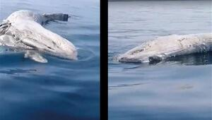 İskenderun Körfezi'nde balıkçıların kamerasına bu kez de ölü balina takıldı