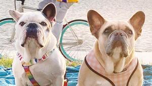 Lady Gaga köpekleri için 500 bin dolar ödül verecek mi