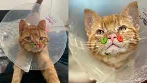 ABDde yüzü parçalanmış kedi düğmelerle tedavi edildi