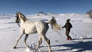 Cirit atı Poyrazın karda oyunu ilginç görüntüler oluşturdu