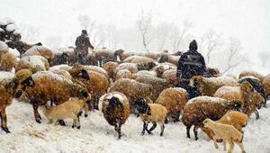 Kuzu ve annelerin kar altındaki buluşmaları yürek ısıttı