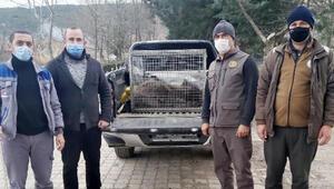 Tüfekle vurulan yaban domuzu korumaya alındı