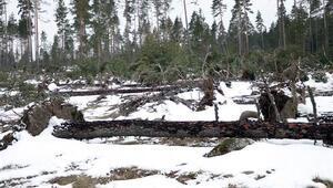 Boluda fırtına nedeniyle onlarca çam ağacı devrildi