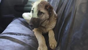 Sahiplendiği köpeğin kulaklarını kesti