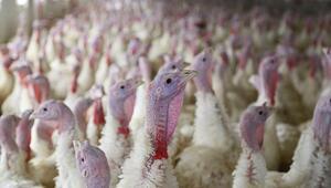 Danimarka'da kuş gribi nedeniyle 4 bin hindi itlaf ediliyor