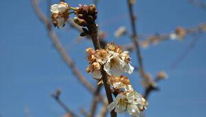 Erkenci kirazlar çiçek açtı, bahçeler beyaza büründü