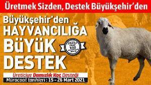 Konya Büyükşehir Belediyesinden yüzde 50 hibeli damızlık koç desteği
