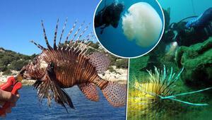 Antalya Körfezinde görüldü Boyları 30 santimi geçti, kıyılara yaklaşıyor...