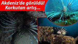 Akdenizde aslan balığı sürüsü görüntülendi