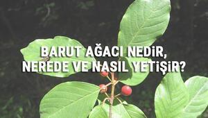 Barut Ağacı Nedir, Nerede Ve Nasıl Yetişir Barut Ağacı Özellikleri, Bakımı Ve Faydaları Hakkında Bilgi