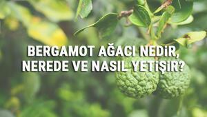 Bergamot Ağacı Nedir, Nerede Ve Nasıl Yetişir Bergamot Ağacı Özellikleri, Bakımı Ve Faydaları Hakkında Bilgi