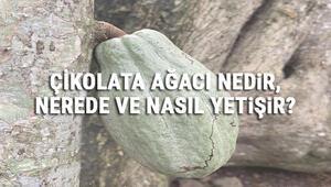 Çikolata Ağacı Nedir, Nerede Ve Nasıl Yetişir Çikolata Ağacı Özellikleri, Bakımı Ve Faydaları Hakkında Bilgi