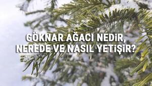 Göknar Ağacı Nedir, Nerede Ve Nasıl Yetişir Göknar Ağacı Özellikleri, Bakımı Ve Faydaları Hakkında Bilgi