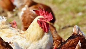 İngilterede kuş gribi alarmı Hayvanlar itlaf ediliyor