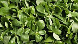 Semizotunun faydaları neler İşte semizotunun sağlığa yararları