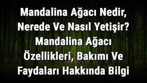 Mandalina Ağacı Nedir, Nerede Ve Nasıl Yetişir Mandalina Ağacı Özellikleri, Bakımı Ve Faydaları Hakkında Bilgi