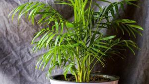 Areka palmiyesi bakımı nasıl yapılır İşte areka palmiyesinin bakımı, sulaması ve çoğaltılması